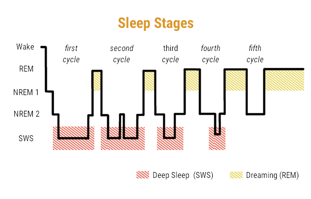 Sleep Stages during Monophasic Sleep